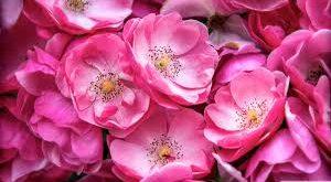 گلاب ارگانیک ارزان