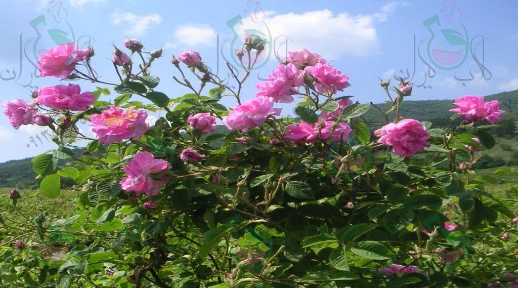 نهال گل محمدی بدون خار